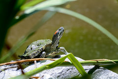Red-eared slider, california Royalty Free Stock Images