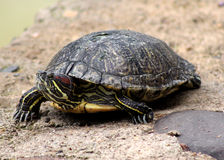 Red Eared Slider Close-up Royalty Free Stock Photography