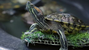 Red-eared slider stock video footage