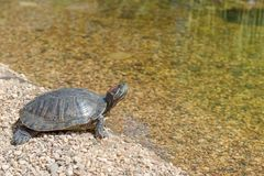 Red-eared slider. Down in the water. Turtle goes into water Stock Image
