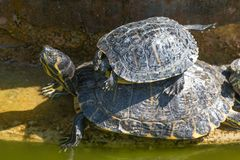 The red-eared slider enjoying the sun. The red-eared slider Trachemys scripta elegans, also known as the red-eared terrapin, is a semiaquatic turtle belonging to royalty free stock image
