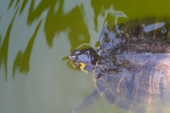 The red-eared slider enjoying the sun. The red-eared slider Trachemys scripta elegans, also known as the red-eared terrapin, is a semiaquatic turtle belonging to stock photography