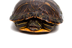 Red-Eared Slider Royalty Free Stock Images