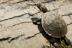 Red Eared Slider on Log Stock Photography