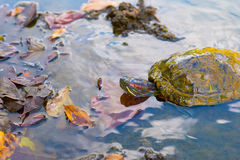 Red-eared slider in the pond waters outdoors royalty free stock photography