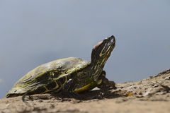 Red-Eared Slider Stock Images