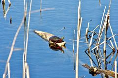 Red Eared Slider sunning on log in water. Stock Image