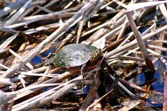 Red Eared Slider sunning on reeds in water. Stock Photography