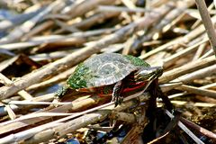 Red Eared Slider sunning on reeds in water. royalty free stock photo