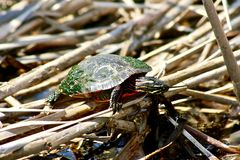 Red Eared Slider sunning on reeds in water. Royalty Free Stock Photos