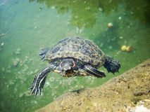A red-eared slider Stock Image