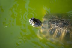 The red-eared slider swimming in his habitat. The red-eared slider Trachemys scripta elegans, also known as the red-eared terrapin, is a semiaquatic turtle royalty free stock image