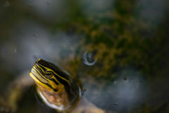 Red eared slider terrapin Stock Photography