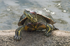 Red-eared Slider (Trachemys scripta elegans) Royalty Free Stock Image
