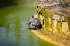 The red-eared slider, close view, in his habitat. The red-eared slider Trachemys scripta elegans, also known as the red-eared terrapin, is a semiaquatic turtle Royalty Free Stock Photos