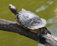 Red-eared slider (Trachemys scripta elegans) Royalty Free Stock Photo