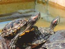 Red-eared Slider Trachemys scripta elegans Common slider Turtle wild animal. turtles royalty free stock photos