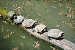 Red-eared slider (Trachemys scripta elegans) - group of turtles Stock Photos