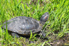 Red-eared slider (Trachemys scripta elegans) Royalty Free Stock Photography