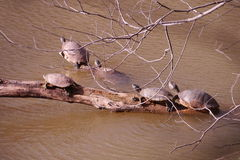Red-eared slider - Trachemys scripta elegans - Stock Photography