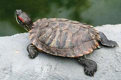 Red-eared Slider, Trachemys scripta elegans. REPTILES - Red-eared Slider, Trachemys scripta elegans Royalty Free Stock Photo