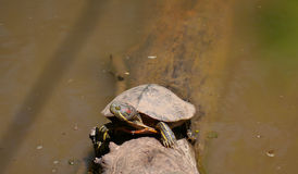 Red-eared Slider (Trachemys scripta elegans) Royalty Free Stock Photos