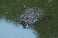 Red-eared slider (Trachemys scripta elegans). Royalty Free Stock Photo