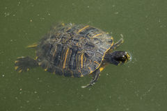 Red-eared slider (Trachemys scripta elegans). Stock Images