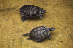 Red-eared slider (Trachemys scripta elegans). Stock Photo