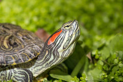 Red eared slider - Trachemys scripta elegans Royalty Free Stock Images
