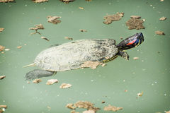 Red-eared slider (Trachemys scripta elegans) in the water Royalty Free Stock Image