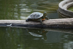 Red-eared slider (Trachemys scripta elegans). Stock Photos