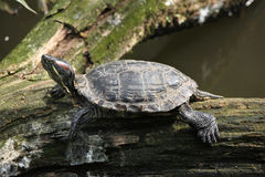 Red-eared slider (Trachemys scripta elegans). Royalty Free Stock Photography