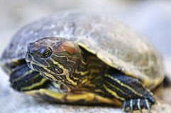 Red eared slider turtle Stock Images