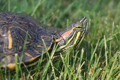 Red-eared Slider Turtle Royalty Free Stock Images