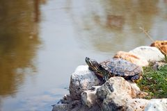 Red Eared Slider Turtle Stock Photos