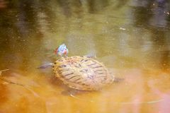 Red Eared Slider Turtle. Swims in water Royalty Free Stock Photo