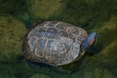 Red-eared Slider Turtle. In an aquatic setting Royalty Free Stock Photography