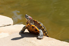 Red-eared slider turtle basking on sun Royalty Free Stock Image