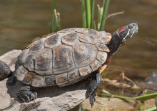 Red-eared Slider Royalty Free Stock Photography