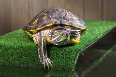 Red-eared slider turtle. Royalty Free Stock Images