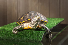 Red-eared slider turtle. Royalty Free Stock Photo