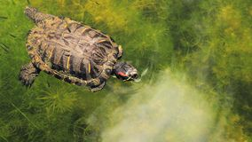 Red-eared slider Turtle Closeup Stock Photo