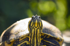 The red-eared slider turtle closeup Royalty Free Stock Image