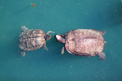 Red-Eared Slider Turtle Courtship Dance. Red-eared slider turtles get their name from the distinctive red patch of skin around their ears.  The female is larger Stock Image