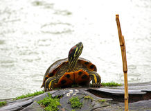 Red eared slider turtle. Red eaerd slider turtle sitting on a log in a pond Stock Photography