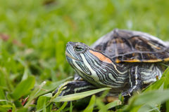 Red Eared Slider Turtle on Grass Stock Image
