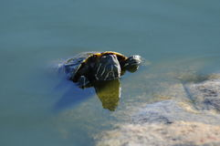 Red eared slider Royalty Free Stock Images