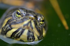 Red-eared Slider. Turtle in nature Royalty Free Stock Images