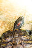 Red eared slider turtle. One Pond Red eared slider turtle Stock Images
